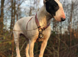 English Bull Terrier  £1000 Reward  For information leading to her safe return
