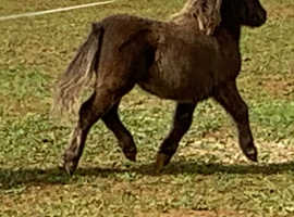 "Candy 26"" chocolate bay Shetland filly"