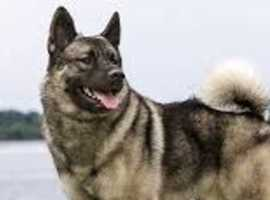 ELKHOUND WANTED