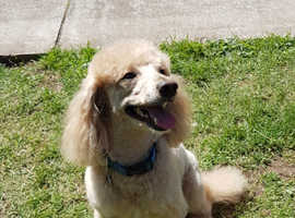 Toy Poodle For Stud