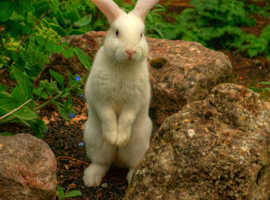 Cute frindly white Rabbit Blue Eye, quick sale.