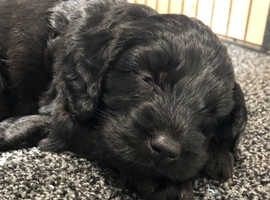 Cockapoo Dogs & Puppies For Sale & Rehome in Great Yarmouth