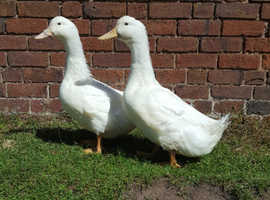 Pairs of Aylesbury ducks available
