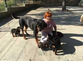 I have rottweiler puppies for sale 5 boys 4 girls thay are 9 weeks old so be ready to go now