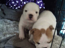 Male English bulldog puppies ready 19aug