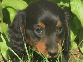 KC mini long haired dachshunds