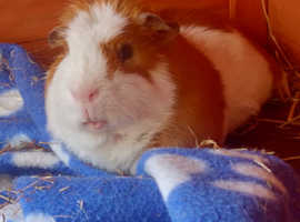 Wanted 2 baby girl guinea pigs