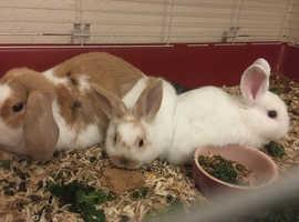 Baby rabbits mini lop x dwarf