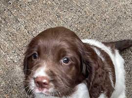 8 week old springer spaniel pups