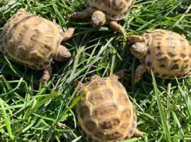 Baby Horsefield tortoises ready NOW