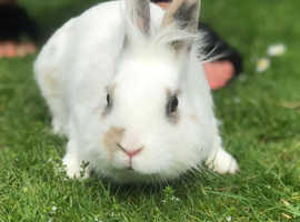 Our stunning friendly rabbit born Easter Monday come with hutch and cover