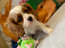 Beautiful cavalier King Charles boy for sale