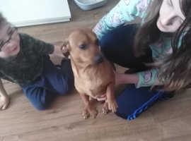 1 year old male sausage dog (dachshund)