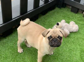 Sad sale of our baby boy Pug Norbert , K.C Registered & Fully Vaccinated . £1500 or best offer .