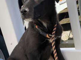 Labrador x German shepherd