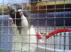 2 male rats £15 each or £25 for 2