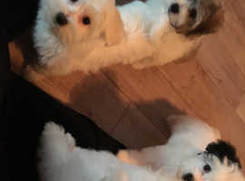 Havanese Dogs Puppies For Sale Rehome In Scotland Find Dogs