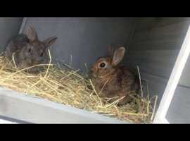 2 x male rabbits plus hutch and indoor cage
