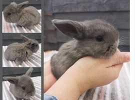 Gorgeous girl and boy mini lops ready for reserve