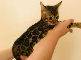 Quality Bengal Kittens Tica Active Registered Or Pet From 595 Each