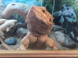 8 year old Male Bearded Dragon (Adenovirus carrier but symptom free and healthy) free to loving forever home. Full set up available for £70