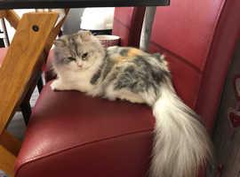 Purebred persian female cat