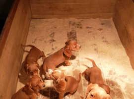 Gorgeous Golden Cocker Spaniel Puppies for sale