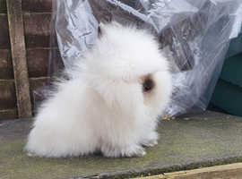 1 boy left purebred lionheads bred from top.show stock