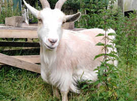 Female Pygmy goats for sale