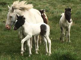 AmerAmerican Paint / Cob X Colt Foal
