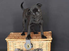 Griffon Bruxellois puppies