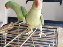 2 X Alexandrine parrots for sale