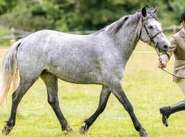 Potential eventing pony