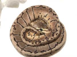 Baby royal python Lemonblast.