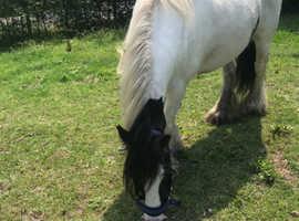 Beautiful traditional cob 5y mare