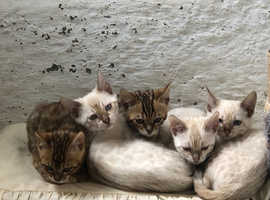 Pedigree bengal kittens snow lynx and brown rosettes