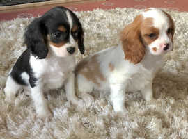 Cavalier King Charles male puppies