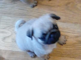KC pug pups from health tested sire (Scotland)