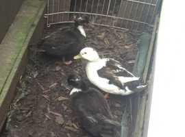 Trio of Call Ducks