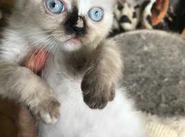 Colour point kittens