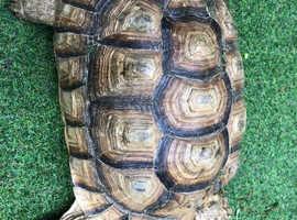Tortoise (Sulcata) Male.