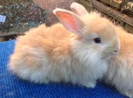 PURE BRED ENGLISH ANGORA BABIES