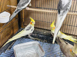 5 COCKATIELS PIED AND LUTINO BREEDING PAIRS