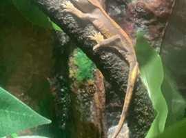 2 crested geckos