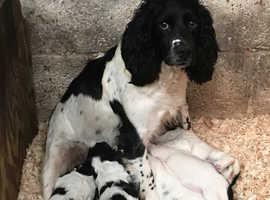 Gorgeous Springer spaniel Puppies for sale