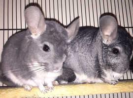 2 male chinchillas and cage