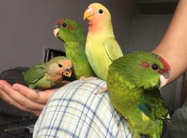 Tame hand reared kakariki parrots
