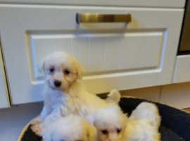 Bishon cross poodle pups