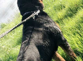 Rottweiler dog 13 months old