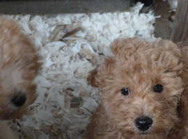 POODLE PUPS READY TO LEAVE NOW